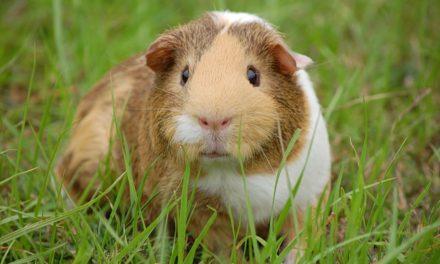 15 Glamorous Guinea Pig Gifts